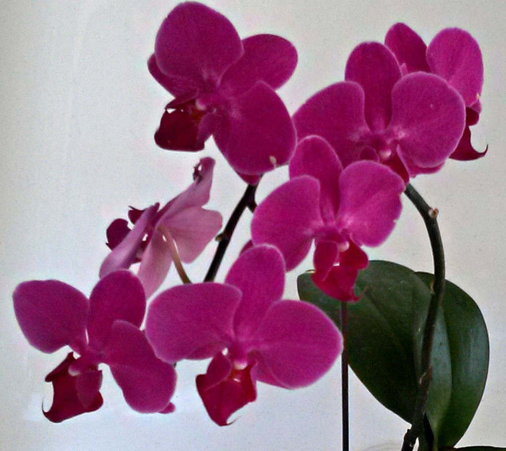 Orchid_Close