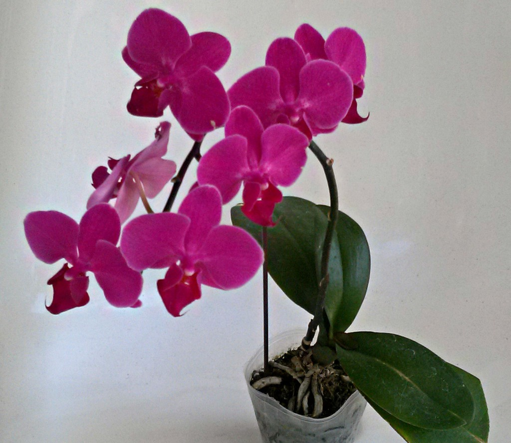 Orchid_Cover